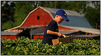 A boy picks strawberries from Patterson Farm, near Mooresville, NC. Boy is model released.