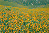Fiddleneck<br />