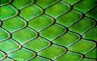 1R04-089c  Smooth Green Snake -  close-up of scales, skin - Opheodrys vernalis