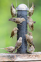 pine siskin, Spinus pinus, at nyger seed feeder in winter, Nova Scotia, Canada
