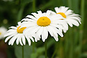 Leucanthemum vulgare (syn. Chrysanthemum leucanthemum), mid May. Commonly known as Ox-eye daisy or Moon daisy.