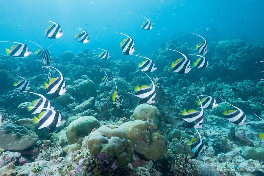 Mulak Kandu, Mulaku Atoll, Maldives; a school of Schooling Bannerfish (Heniochus diphreutes) swimming over the hard coral reef