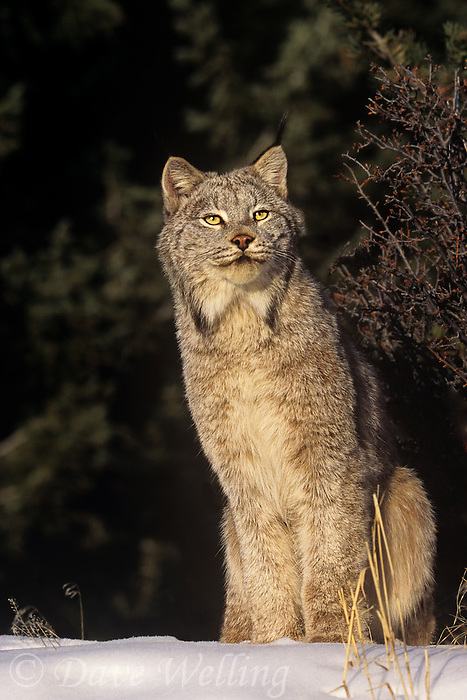 657146103 a captive canadian lynx felis lynx sits in a snowbank in central montana this species is endangered in the wild