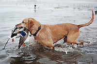 A dog owned by Pat Berggren (cq) carries a duck back after a kill during a hunting trip near Grand Island, Nebraska, Saturday, December 3, 2011. ..Photo by Matt Nager