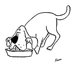 (A dog holds its droopy ears out of the way as it drinks from its water bowl)