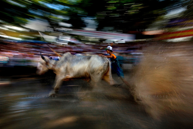 "Farmers race bulls during the annual ""Dua Bo - Cow Racing"" competition in Tri Ton District in southern Vietnam near the Cambodian border on September 27, 2008..The bulls race in teams of two, controlled by jockeys who ride behind them on rake-like, wheelless buggies..The rectangular track, that is 160 meters long and 60 meters wide, is built on a rice paddy field and is filled with mud and water.  Each race includes three laps of the track totaling 1,320 meters until the finish line..The cow races brought 70 competitors and more than 30,000 spectators."