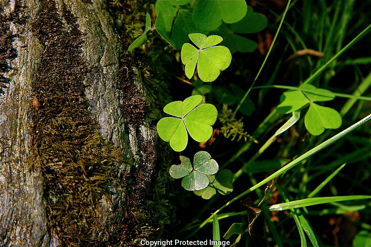 Irish Shamrock, Glendalough, Ireland