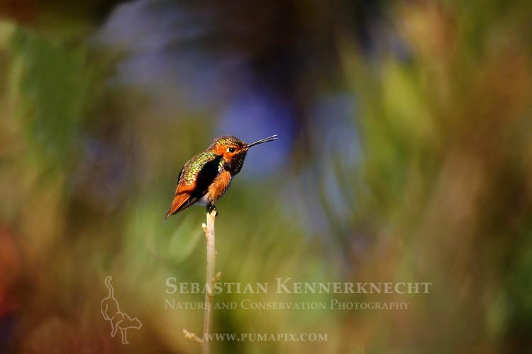 Allen's Hummingbird (Selasphorus sasin) male calling, UCSC Arboretum, Santa Cruz, Monterey Bay, California