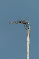 Marl Pennant (Macrodiplax balteata) Dragonfly - Female, Tierra Verde Pond, Tierra Verde, Pinellas County, Florida