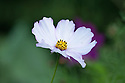 Cosmos bipinnatus 'Purity', early September.
