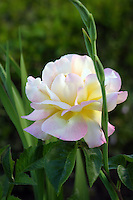 Sunrise beginning to shine on this delegate pink-tipped white rose, Portugal
