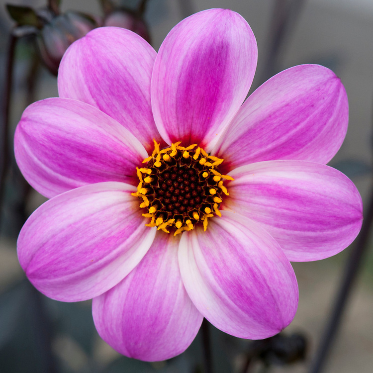 Dahlia [Candy Eyes] = 'Zone Ten', mid August. Recently also known as Dahlia 'Mystic Dreamer'. Compact, dark-leaved variety. Striking pink flowers with a strong magenta stripe set against almost-black foliage.