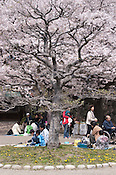 People enjoying a picnic with friends under cherry blossoms (Sakura; and hanami) in the spring.
