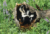 Striped Skunk (Mephitis mephitis), young in hollow log, USA