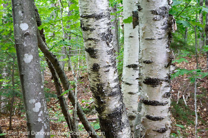Birch trees during the summer months in the White Mountains, New Hampshire USA