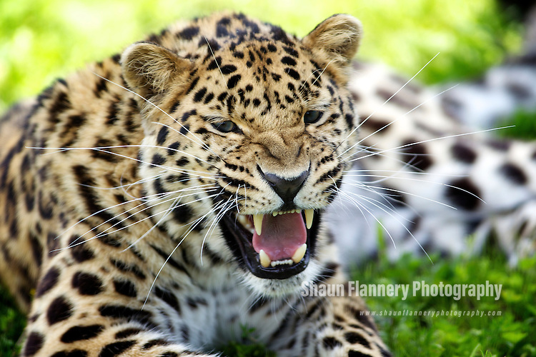 Pix: Shaun Flannery/shaunflanneryphotography.com...COPYRIGHT PICTURE>>SHAUN FLANNERY>01302-570814>>07778315553>>..20th June 2012..Yorkshire Wildlife Park..Warning Tongue Lane, Doncaster..Leopard, Leopard Heights..