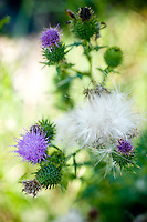 Thistle at DeHart Botanical Gardens in Louisburg, NC.