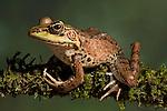 Vaillant's Frog (Rana vaillanti), Costa Rica