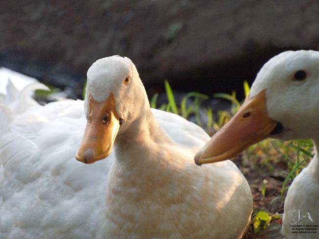 Funny, Expectant white ducks at sunset
