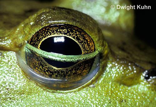 FR08-010b  Bullfrog - close-up of eye - Lithobates catesbeiana, formerly Rana catesbeiana