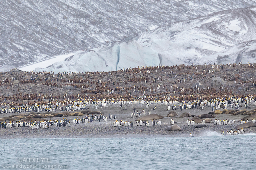 Colonies of King Penguins (Mirounga leonina) and Southern Elephant Seals (Mirounga leonina) on beach at St. Andrews Bay, South Georgia. November.