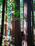 Henry Cowell Redwoods S.P.