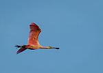 Roseatte Spoonbill flyby