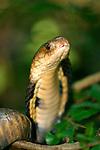 Monocellate Cobra-Naja kaouthia