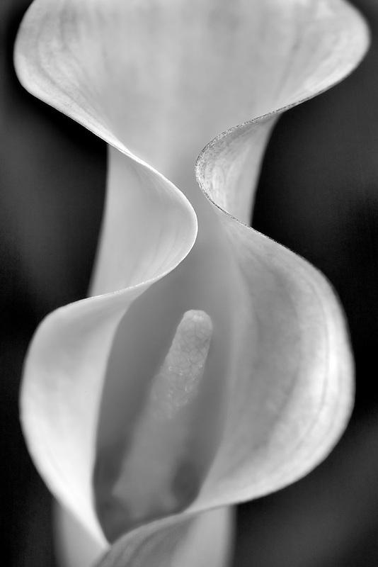 Aruba California Callas, (sp Zantedeschia)