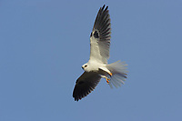 White-tailed Kite (Elanus leucurus) in flight. Los Padres National Forest, California. December.