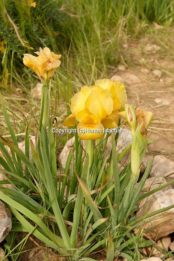 Israel, Iris Atrofusca in the Negev