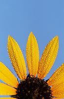 Sunflower, Helianthus sp., blooming with dew, Welder Wildlife Refuge, Rockport, Texas, USA, May 2005