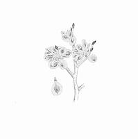 Hollandse iep (Ulmus x hollandica) zaden