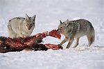 Coyotes scavenging an elk kill made by wolves on the National Elk Refuge in Jackson Hole, Wyoming.