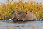 Botswana, Okavango Delta, Moremi Game Reserve,  African elephant (Loxodonta africana) crossing channel in delta