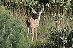 mule deer fawn,  FB 405 back small photo for 5x7 postcard