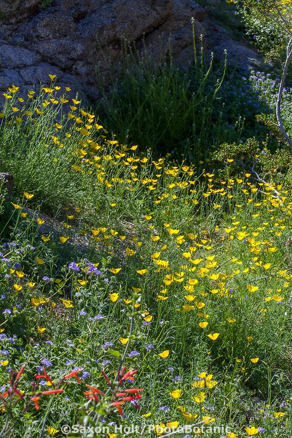 Eschscholzia parishii, Parish's Poppy yellow flowering wildflower;California native plant Anza Borrego State Park; superbloom wildflower display 2017
