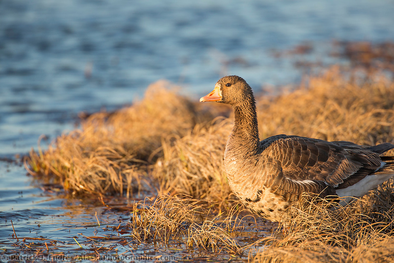 Greater white-fronted goose in the tundra wetlands of the Arctic North Slope coastal plain, Alaska.