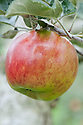 "Apple 'Livermere Favourite', mid September. An English dessert apple from the late 19th century. ""A medium sized greenish-yellow skinned ribbed and rectangular shaped apple possibly raised by Mr. Tallack of Bury St. Edmunds, Suffolk. Awarded an RHS Award of Merit in 1896. It has stripes of dark red and a greasy skin. The flesh is firm, greenish white, slightly acidic and fairly crisp and tender."" www.applesandorchards.org.uk"