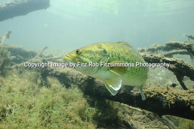 Largemouth Bass (Micropterus salmoides), game fish, sunfish family,underwater, Minnesota, bass