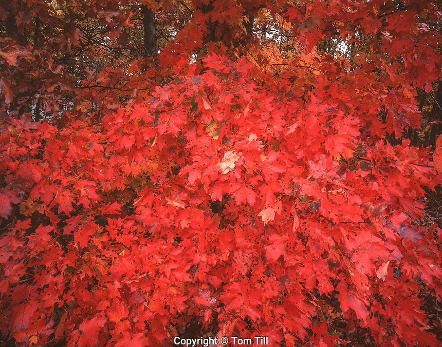 Maple tree in autumn, Buffalo National River, Arkansas, Ozark Mountains