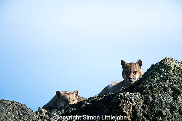 2 totally wild  Juvenile Patagonian Pumas resting on rocky outcrop, with one sleeping.