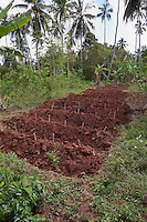 Zanzibar, Tanzania.  Cassava Cuttings in New Rows.  Manioc.