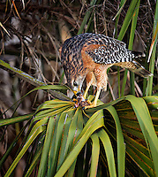 Red-Shouldered Hawk sitting in palm tree feeding on a snake