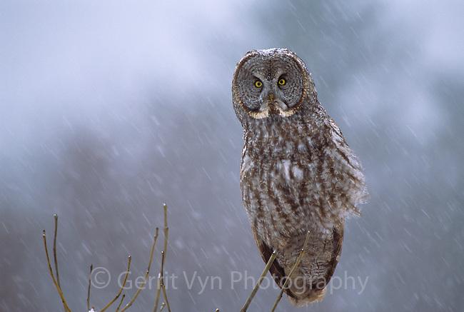 Great Gray Owl (Strix nebulosa) hunting in  winter snowfall. Ontario, Canada.