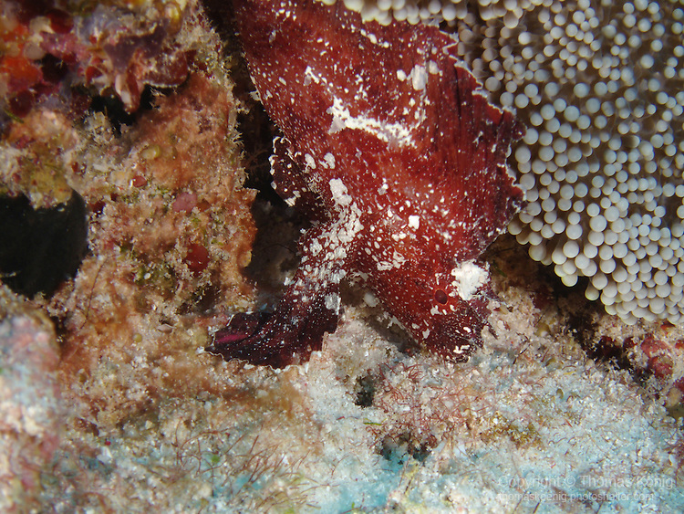 Blue Corner, Palau -- Leaf Scorpionfish.
