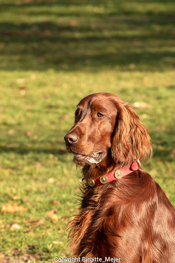 Headshot of Irish Setter working Dog background blurred out nature
