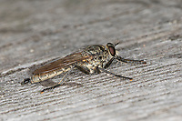 Sand-Raubfliege, Sandraubfliege, Raubfliege, Männchen, Philonicus albiceps, Dune Robberfly, male,