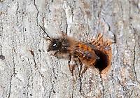 Red Mason Bee - Osmia bicornis