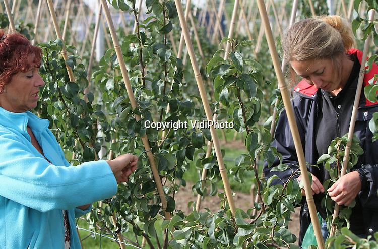Foto VidiPhoto..RESSEN - Personeel van fruitteler Nico van Olst uit Ressen bindt donderdag de takken op van de nieuwe perenboomgaard. De 7100 perenbomen (Conference) zijn geplaatst volgens het viertakkensysteem, waarbij de hoofdtakken (be)geleid uit elkaar groeien. Voordeel is dat er meer licht bij kan, zodat de vruchten groter worden. Bovendien kunnen fruittelers de hoeveelheid peren daarmee vooraf beter inschatten. Hoewel het viertakkensysteem de eerste jaren meer werk kost, gaan steeds meer telers vanwege de voordelen over op dit systeem.